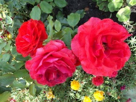 чайно-гибридная роза сорт Артуро Тосканини