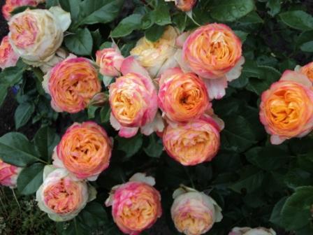 роза патио высотой не более 30 см с плотными махровыми цветками