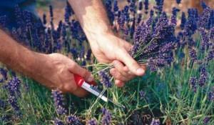 сбор лекартсвенных трав