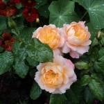 роза чайно-гибридная Фламенко