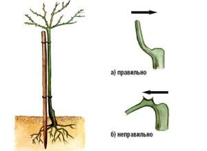 как вырастить штамбовую розу