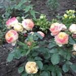 розы патио Бэби романтика
