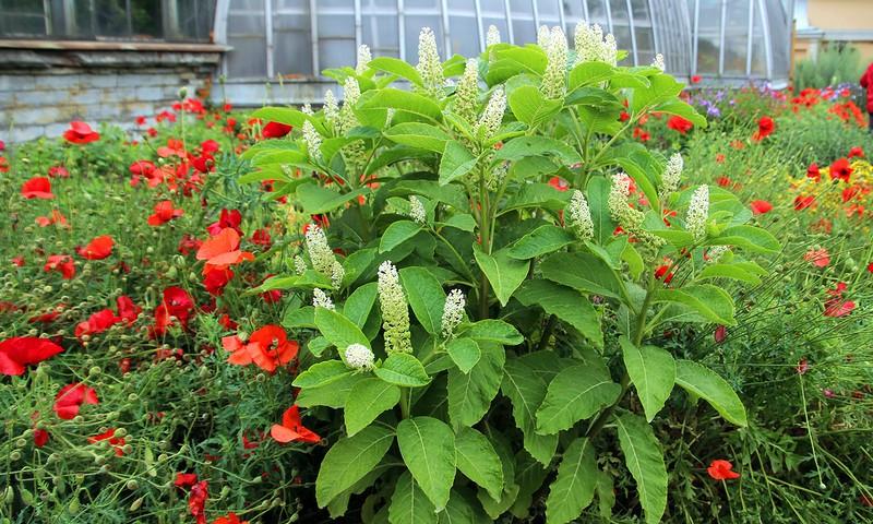 Лаконос после отцвкетания образует семена в виде темно-фиолетовых ягод.