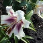 выращивание лилий