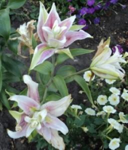 махровая лилия