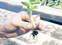 персадка и пикирование рассады помидор