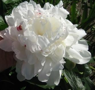 травянистый пион белый