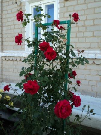 Как сделать подставку под плетистую розу