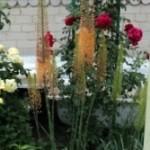 цветок  эремурус