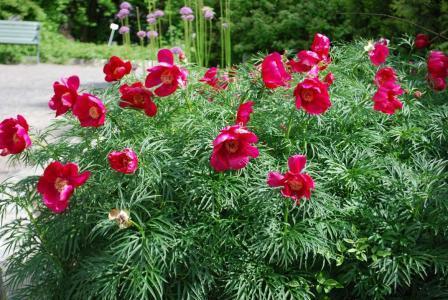 травянистый пион фото и описание