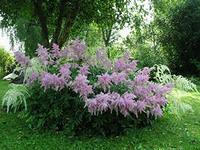 теневыносливое растение Астильба
