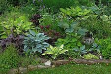 Хоста растение тенелюбивое