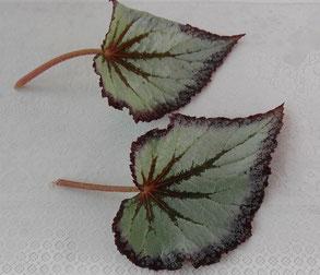 Размножение бегонии листом