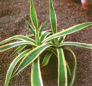 домашнее лекарственное растение