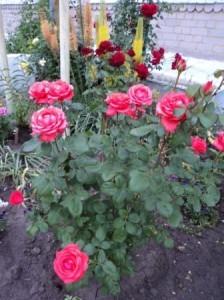 чайно-гибридная роза Тройка