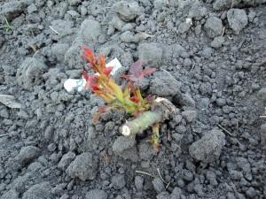 результат зимовки роз