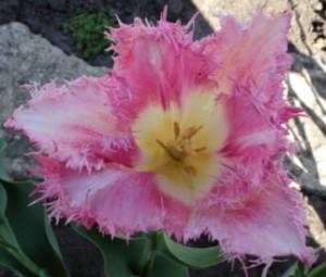 весенний цветок -тюльпан