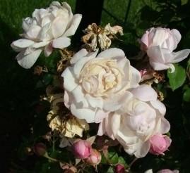 группа нуазетовых роз