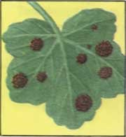болезни комнатных цветов -ржавчина
