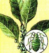 вредитель комнатных растений