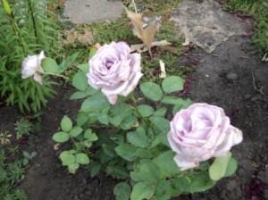 голубые розы
