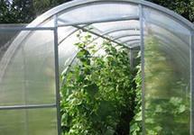 выращивание огурцов теплице