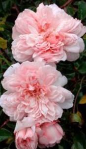 розы для тенистого сада