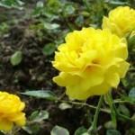 желтая плетистая роза