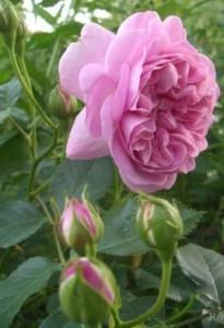роза для полутени