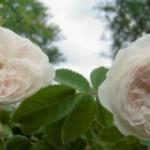 роза для сада