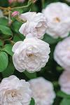 розы растущие в тени