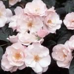 розы Мейяна