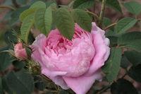 розы для полутенистого сада