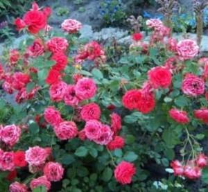 бордюрная роза