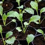 рассаженные сеянцы капусты