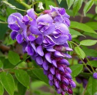 цветы глициния