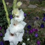 белый гладиолус фото