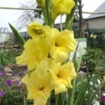 гладиолус желтый