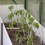 как подвязывать томаты