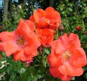 кустистая роза