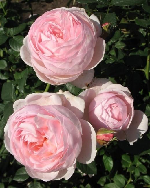 Роза остина фото с названиями