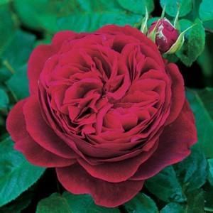кустистые розы