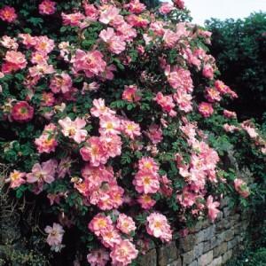 современные кустовые розы