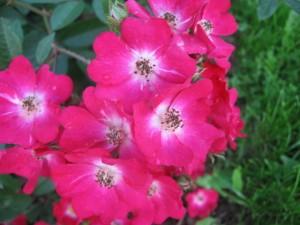 современная кустовая роза