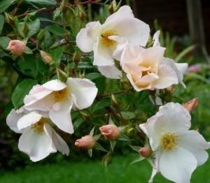 Салли Холмс - кустовая роза