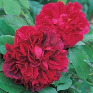 английские розы Остина