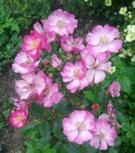кустовая роза сорт Естедэй