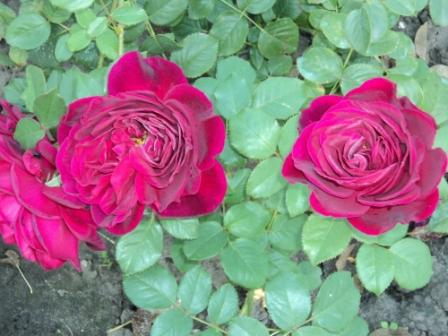 роза фишерман френд фото