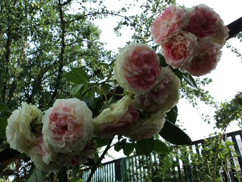 Пересадка садовых роз осенью