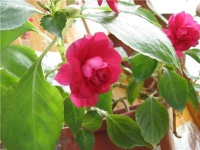 Цветок недотрога